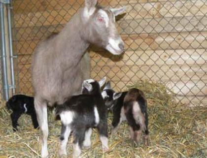A diary goat on feeding. Photo credit: The organic Farmer.