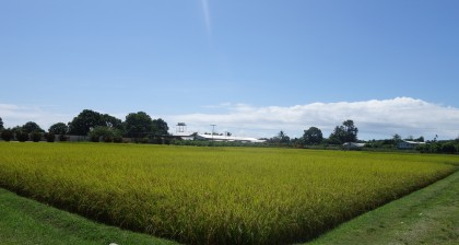 The rice field at the Taiwan Technical Mission in Honiara. Photo credit: SIBC.