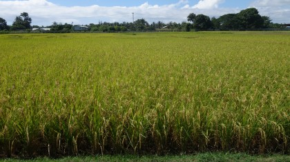 The rice field at the Taiwanese Technical farm in Honiara. Photo credit: SIBC.