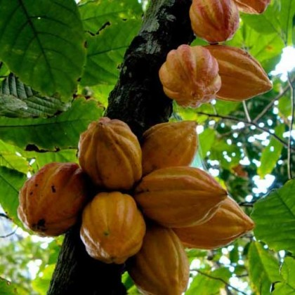 Cocoa pods ready for harvest. Photo credit: New Mail.