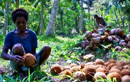 A local copra producer preparing coconuts for copra. Photo credit: Our Pacific Ways.