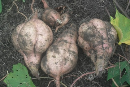 The sweet potatoes that were harvested. Photo credit: SIBC.