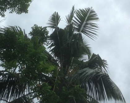 An example of how the beetle can destroy coconut fronds. Photo credit: MAL.