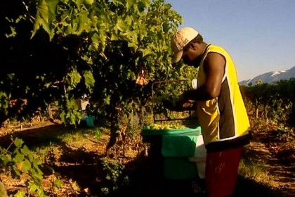 A seasonal worker picking grapes. Photo credit: www.abc.net.au