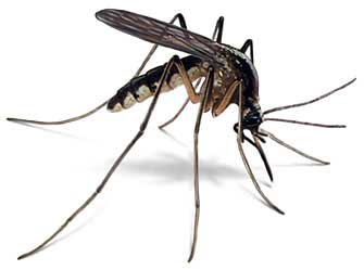 Malaria Mosquito. Photo credit: www.simpsonstreetfreepress.org