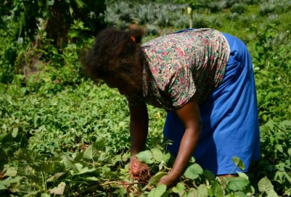 A woman harvesting potatoes. Photo credit: http://www.undp-alm.org/projects/af-solomon-islands