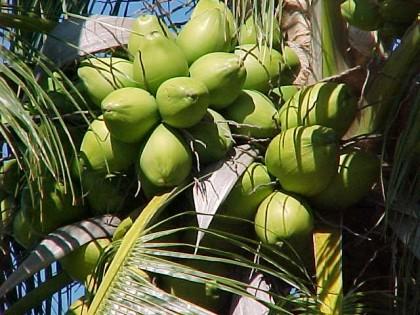 Green coconuts. Photo credit: en.wikipedia.org
