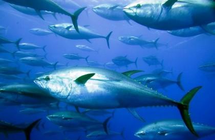 Blue fin tuna underwater. Photo credit: www.greenpeace.org