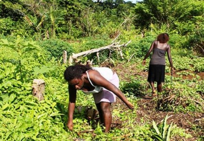 Solomon Islander women prepare a sweet potato garden for planting. Photo credit:  Radio Australia online.
