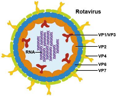 How a Rotavirus looks. Photo credit: cmr.asm.org