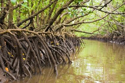 Mangroves trees. Photo credit: www.leisurepro.com