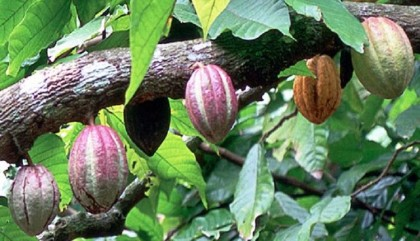 Cocoa, a major commodity in Solomon Islands. Photo credit: www.loopvanuatu.com