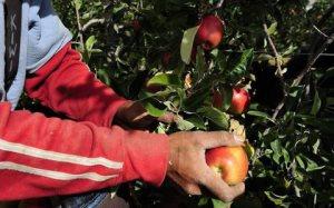 A seasonal worker picking apples. Photo credit: Solomon Times online.