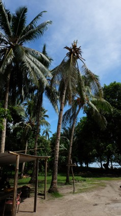 The damaged coconut palms on Reko village, Savo Island.