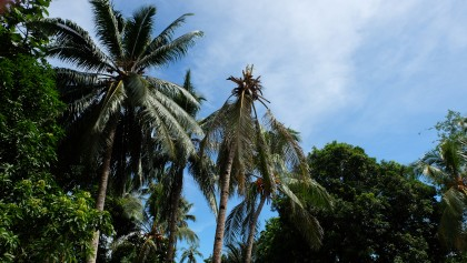 A palm affected on Savo Island