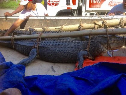 5 die every year from Croc attacks