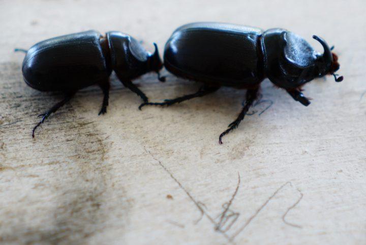 Biosecurity preps virus for beetle eradication