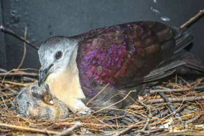 Doves rescued from extinction